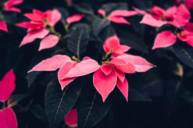 red poinsettia flowers in close up photography